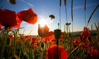 Bees and poppies photo