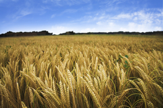 Wheat_iStock_000006511878Medium